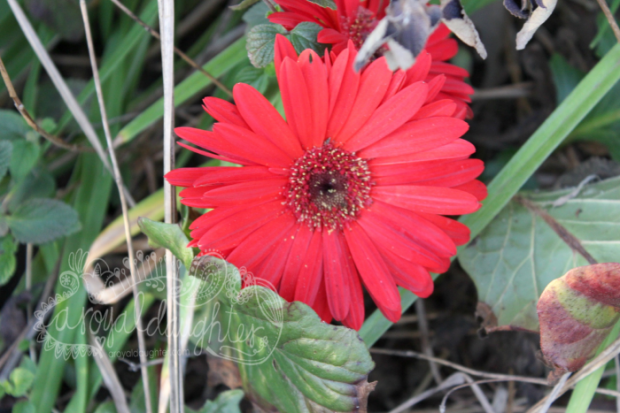 Red Daisy in Early Spring